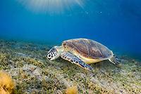 green sea turtle, Chelonia mydas, feeding, endangered species, Wadi Gimal National Park, Marsa Alam, Egypt, Red Sea, Indian Ocean