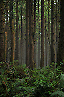 Mist in temperate rainforest, Olympic National Park, Washington.
