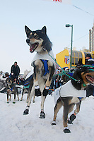 Saturday March 6 , 2010   A Zoya DeNure team dog jumps with excitement just before she leaves the ceremonial start of the 2010 Iditarod in Anchorage , Alaska