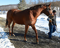 Dual classic champion Big Brown enjoys a sunny winter day at his new home at Dutchess Views Farm on January 17, 2015 in Pine Plains, New York.  (Bob Mayberger/Eclipse Sportswire)