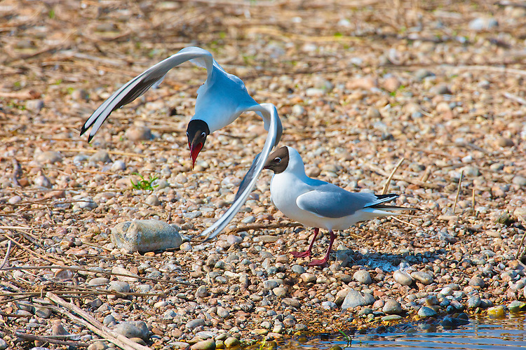 Black headed Gull (Chroicocephalus ridibundus) in flight courtship. Even the patterns of flight change during the breeding season, with birds showing of flight characteristics, that seem to capture the attention of the partner. Almost butterfly like in the wing beats. Along with the content verbal communication, the drooped synchronised walk is quite engaging to watch.