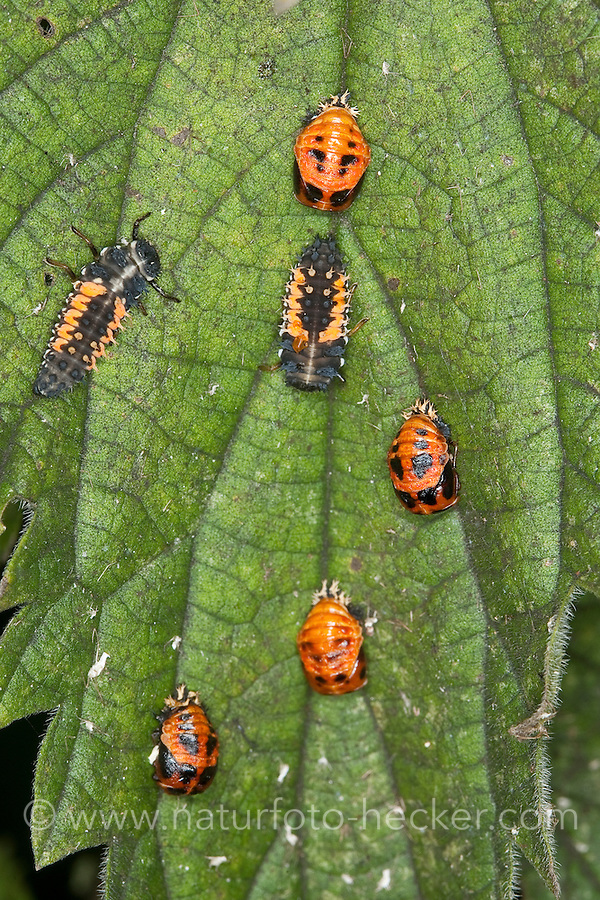 Larve, Larven und Puppe, Puppen vom Asiatischer Marienkäfer, Harlekin, Harmonia axyridis, Asian lady beetle, Harlequin lady beetle