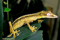 GK13-013z  Lined  Leaf Tailed Gecko - Uroplatus lineatus