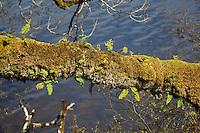 Ein mit Moosen und Flechten bewachsener Baum im Wald bei Dalavich in Schottland.<br /> 1.5.2008, Dalavich/Schottland<br /> Copyright: Christian-Ditsch.de<br /> [Inhaltsveraendernde Manipulation des Fotos nur nach ausdruecklicher Genehmigung des Fotografen. Vereinbarungen ueber Abtretung von Persoenlichkeitsrechten/Model Release der abgebildeten Person/Personen liegen nicht vor. NO MODEL RELEASE! Nur fuer Redaktionelle Zwecke. Don't publish without copyright Christian-Ditsch.de, Veroeffentlichung nur mit Fotografennennung, sowie gegen Honorar, MwSt. und Beleg. Konto: I N G - D i B a, IBAN DE58500105175400192269, BIC INGDDEFFXXX, Kontakt: post@christian-ditsch.de<br /> Bei der Bearbeitung der Dateiinformationen darf die Urheberkennzeichnung in den EXIF- und  IPTC-Daten nicht entfernt werden, diese sind in digitalen Medien nach &sect;95c UrhG rechtlich gesch&uuml;tzt. Der Urhebervermerk wird gemaess &sect;13 UrhG verlangt.]