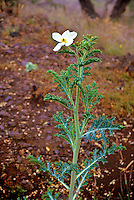 The hawaiian poppy or (argemone glauca) in puu laau. The common names are smooth prickly poppy or hawaiian prickly poppy.