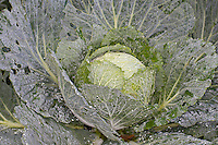 Wirsing, Wirsingkohl, Wirsing-Kohl, Welschkohl, Welschkraut, Wirz, Kohl, Kopfkohl, Gemüsekohl, Brassica oleracea convar. capitata var. sabauda, Brassica oleracea var. sabauda, Savoy cabbage, Savoy