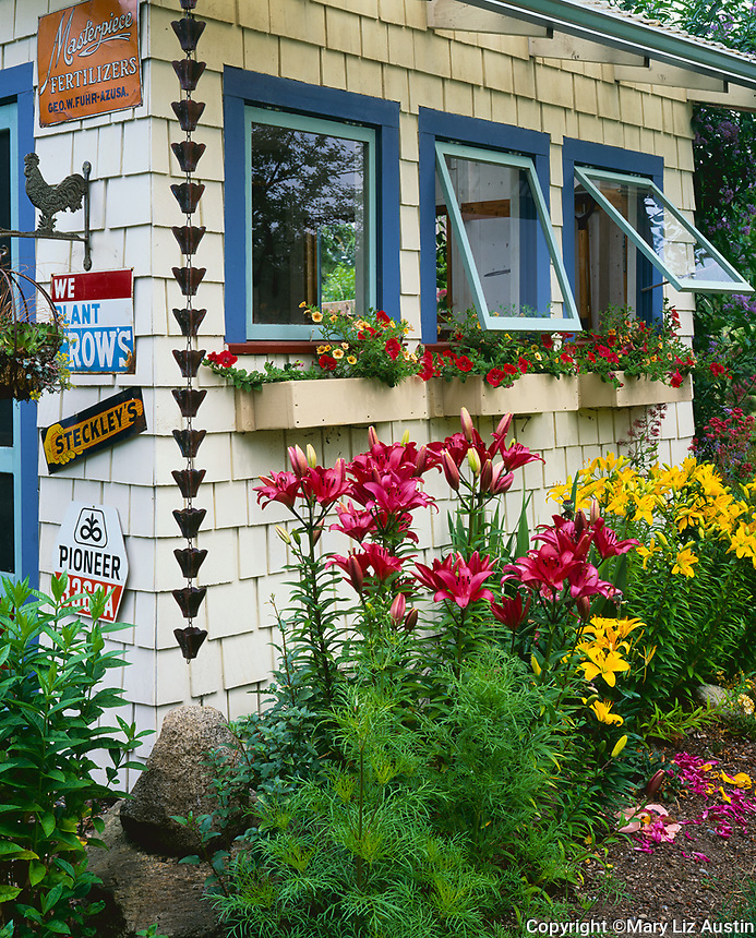 Vashon Island, WA: a border of red and yellow flowering lilies blooming along one side of a garden shed decorated with seed signs and window boxes filled with flowering petunias