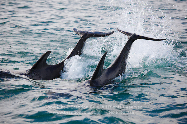 qk0800-D. Bottlenose Dolphins (Tursiops truncatus) tail-slapping. Honduras, Caribbean Sea..Photo Copyright © Brandon Cole. All rights reserved worldwide.  www.brandoncole.com..This photo is NOT free. It is NOT in the public domain. This photo is a Copyrighted Work, registered with the US Copyright Office. .Rights to reproduction of photograph granted only upon payment in full of agreed upon licensing fee. Any use of this photo prior to such payment is an infringement of copyright and punishable by fines up to  $150,000 USD...Brandon Cole.MARINE PHOTOGRAPHY.http://www.brandoncole.com.email: brandoncole@msn.com.4917 N. Boeing Rd..Spokane Valley, WA  99206  USA.tel: 509-535-3489
