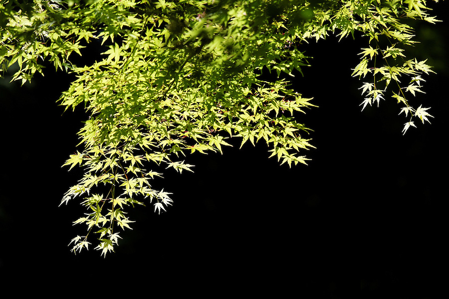 Japanese Maple branches and leaves against dark background, Portland Japanese Garden, Washington Park, Portland, Multnomah County, Oregon, USA