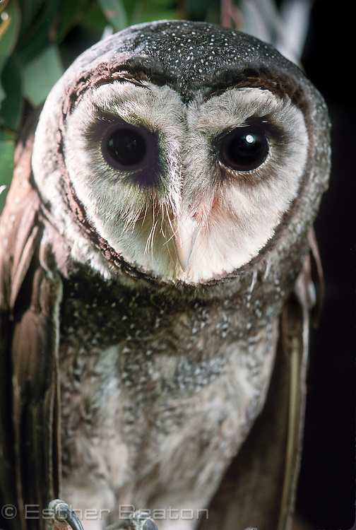 Southern Sooty Owl (Tyto tenebricosa), from Coolangatta, Qld