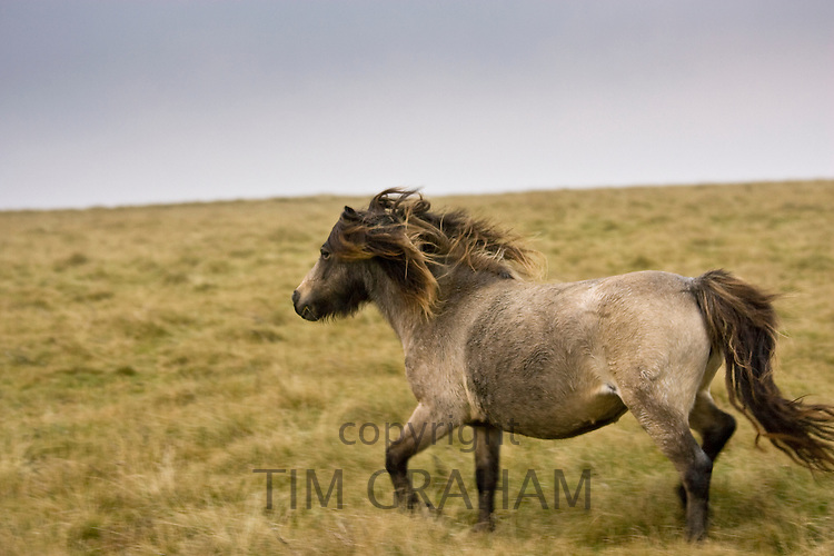 Pony on the moor, Dartmoor, Devon,  United Kingdom