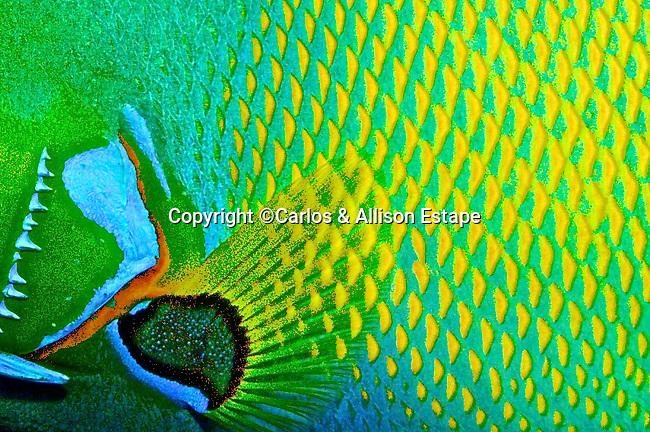 Holacanthus ciliaris, Queen angelfish, Florida Keys
