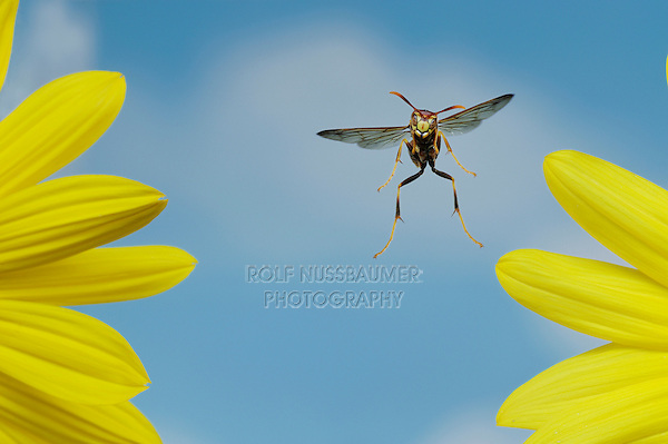Paper Wasp (Polistes sp.), adult in flight, Dinero, Lake Corpus Christi, South Texas, USA