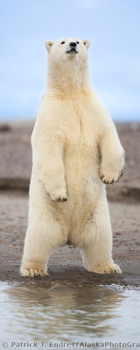 Polar bear stands upright along the shore of Alaska's Arctic.