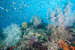 Misool, Raja Ampat, Indonesia; Sagof area, an aggregation of Ruddy Fusilier, damsels and anthias fish swimming above colorful soft corals
