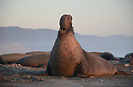 FB-S176  Faded photo for back of 4x6 postcard.  Elephant seal.