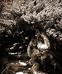 A dryad, or wood nymph, reveals herself in a juniper.