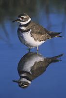Killdeer (Charadrius vociferus), adult in pond, Sinton, Coastel Bend, Texas, USA