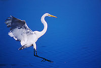 Great Egret, Ardea alba, adult landing, Sanibel Island, Florida, USA