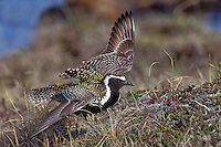 Pacific Golden-Plover - Pluvialis fulva - breeding male doing nest distraction display
