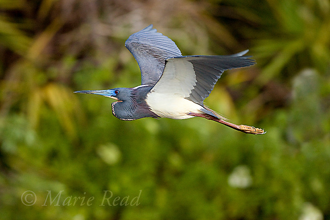 Tricolored Heron (Egretta tricolor) in flight, Orlando, Florida, USA