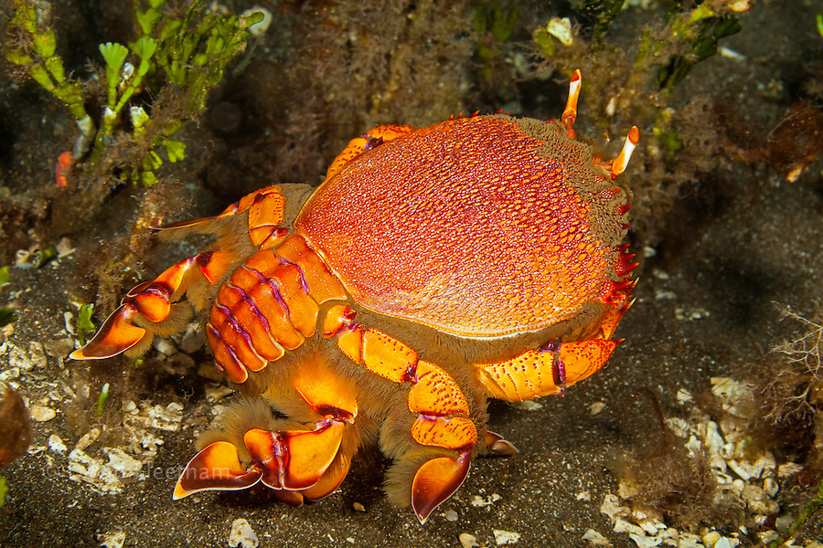 "The Kona Crab, Ranina ranina, is in the frog crab family and are refered to as ""spanner crabs"".  In Hawaii and else where in the world they are commercially harvested. Shot off Maui, Hawaii."