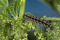Kleiner Fuchs, Raupe frisst an Brennnessel, Aglais urticae, Nymphalis urticae, small tortoiseshell, caterpillar, La Petite Tortue, Vanesse de l'ortie