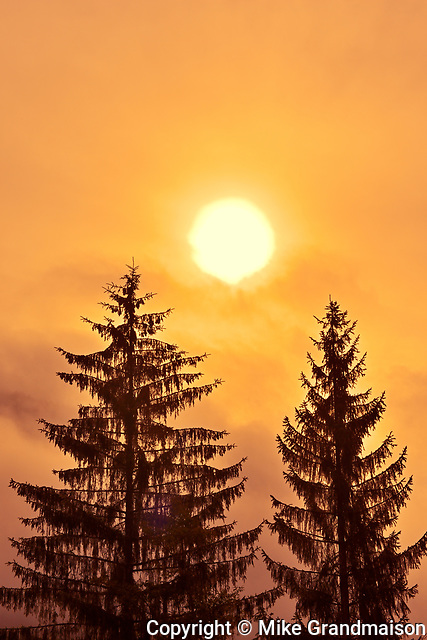 Evergreen trees at sunrise in fog, Prudhomme Lake Provincial Park , British Columbia, Canada