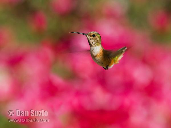 Allen's hummingbird, Selasphorus sasin. Santa Cruz Mountains, California