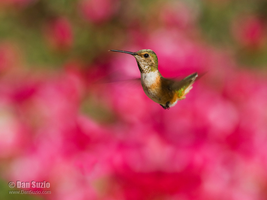 Allen's hummingbird, Selasphorus sasin. Santa Cruz Mountains, California