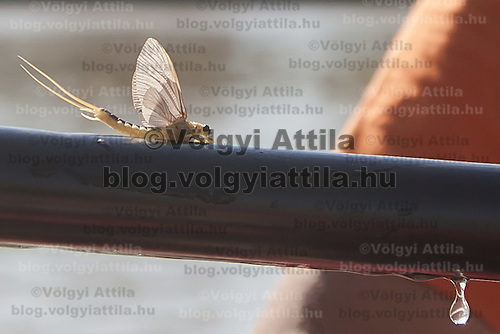 Yearly few days long swarming of the long-tailed mayfly (Palingenia longicauda) on the river Tisza in Tiszainoka (some 135 km south-east from Budapest), Hungary on June 20, 2012. ATTILA VOLGYI
