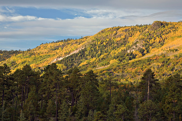 Ponderosa pine trees and fall colors in Escudilla Wilderness Area, Arizona