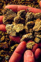 Gold-bearing ore samples, held in hands..