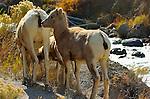 Bighorn Sheep, Juvenile, Female and Lamb, Gardner Canyon, North Entrance, Yellowstone National Park, Wyoming