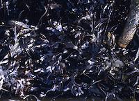 Carragheen / Irish Moss - Chondrus crispus