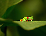 Agalychnis callidryas - Red-eyed tree frog