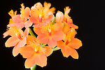 "San Diego, California; orchids (Epidendrum sp.)  are found from the Carolinas to Argentina. The name comes from the Greek, ""eip; on"" and ""dendron; tree"" and refers to the epiphytic habits of most species. Also known as the Common Orchid or Poor Man's Orchid"