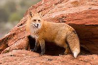 Red Fox standing outside of a den site - CA
