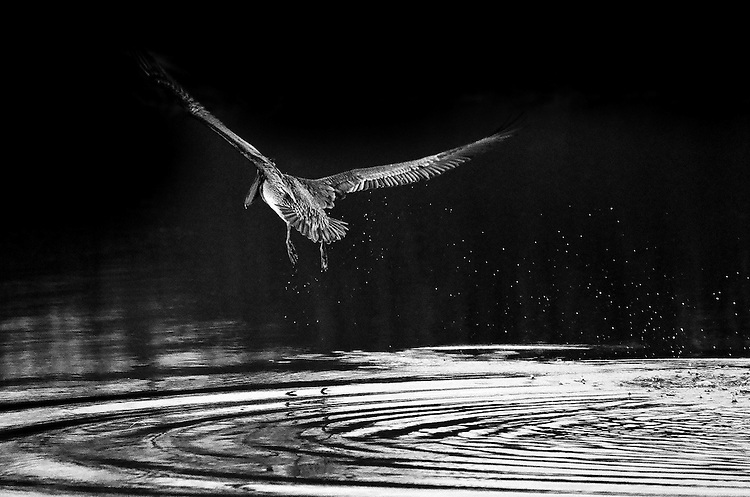 Pelican in Flight,  San Joaquin Wildlife Sanctuary, Irvine, CA                               35mm image on Ilford Delta film