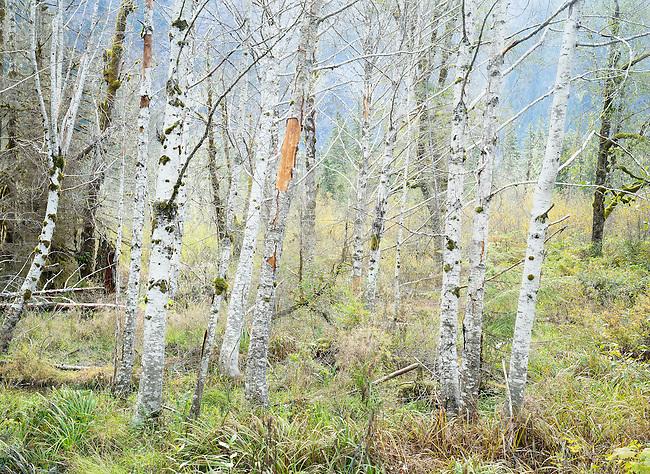 bare red alder trees in wetland Washington State