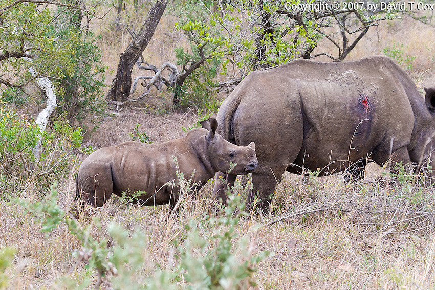 White Rhino w wound and calf, Hluhluwe-Umfolozi NP, SA