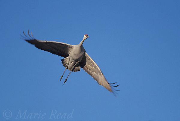 Greater Sandhill Crane (Grus canadensis) flying in to land, Bosque Del Apache National Wildlife Refuge, New Mexico, USA<br /> Slide # B37-571