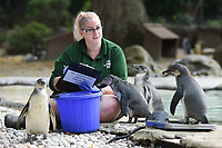Penguins<br /> at the London Zoo annual Weigh-In, Regents Park, London<br /> <br /> <br /> ©Ash Knotek  D3296  24/08/2017