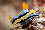 Misool, Raja Ampat, Indonesia; a Chromodoris annae nudibranch moving over the coral reef
