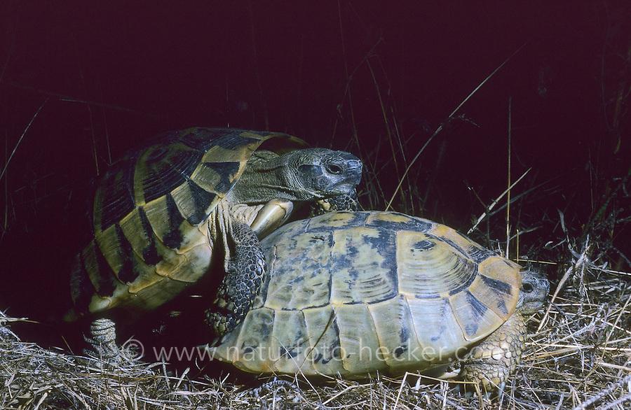 Griechische Landschildkröte, Paarung, Kopula, Kopulation, Schildkröte, Testudo hermanni, Hermann's tortoise, Greek tortoise