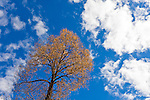A single aspen tree with yellow leaves reaches toward the sky with bright cumulus clouds overhead.