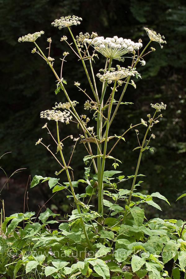 Gewöhnliche Wald-Engelwurz, Waldengelwurz, Engelwurz, Angelica sylvestris, Wild Angelica