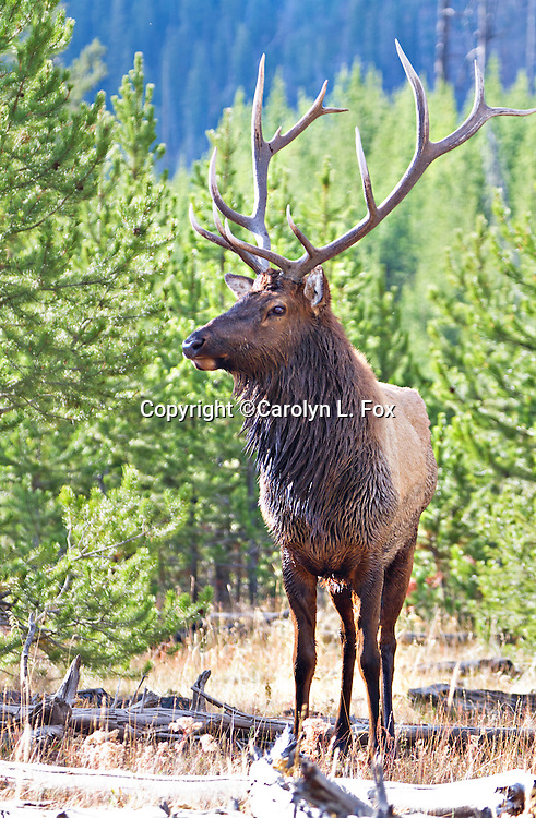 A bull elk stands in the trees in Yellowstone National Park.