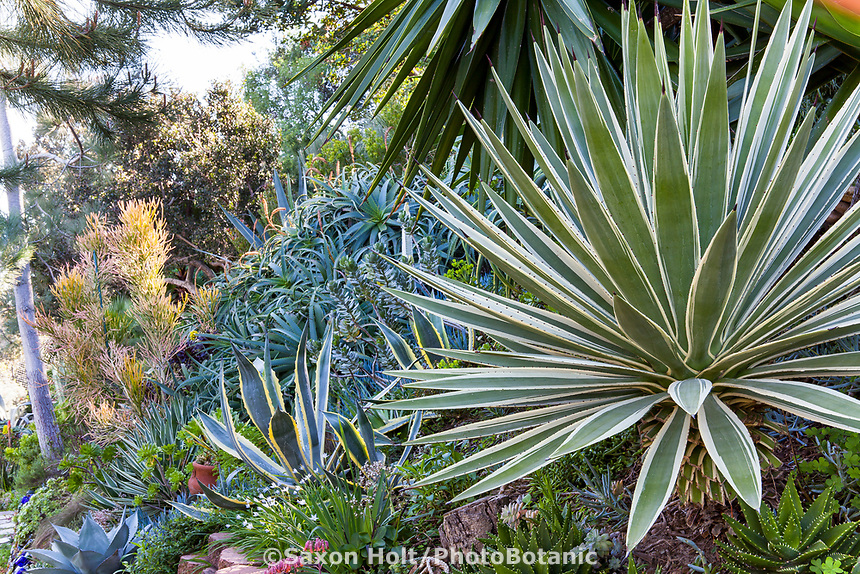 Agave angustifolia variegata (Caribbean Agave), Jim Bishop and Scott Borden garden.
