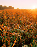 AUSTRIA, Oggau, sunrise over a field of corn to the South of town, Burgenland